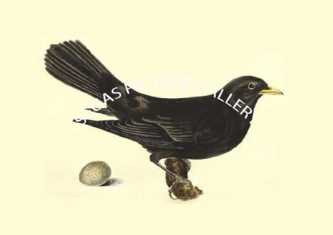 Fine art print of the Blackbird, Or Merle - Turdus Merula by  the artist John Cotton (1835)